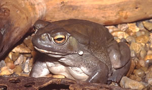 A picture of Bufo alvarius, Colorado river toad.