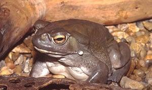 A picture of Bufo alvarius, Colorado river toad.