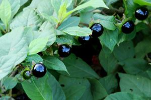 Black berries of Deadly nightshade, Atropa belladonna.