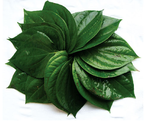 Betel, Piper Betle fresh leaves arranged in a circle.
