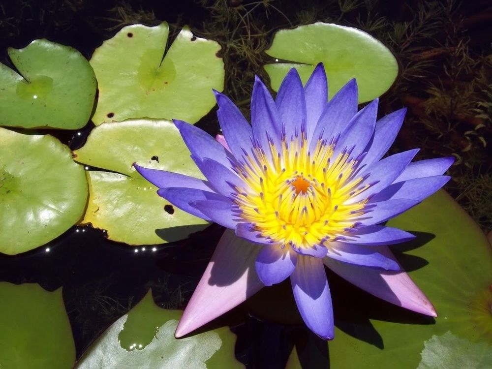 Flowering blue lotus, Nymphaea caerulea.