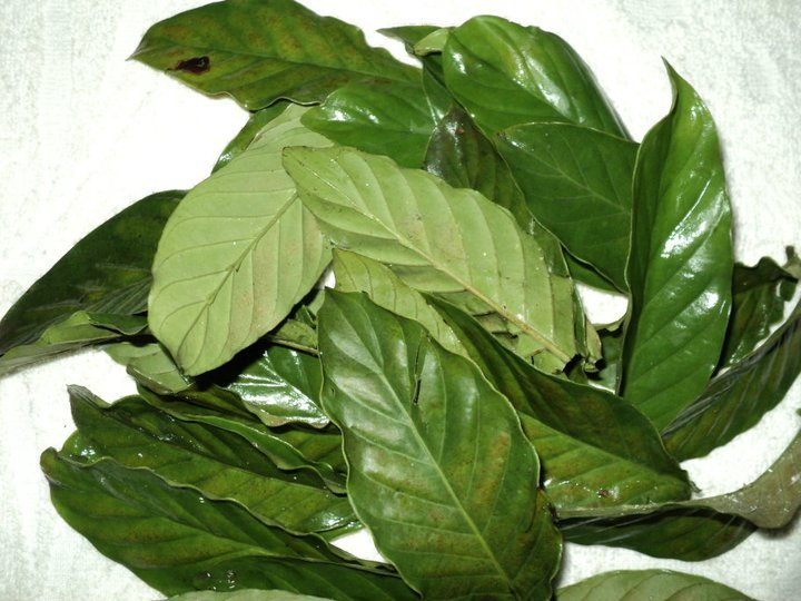 leaves ofthe well-known legal high Chacruna, Psychotria viridis. One of the ingredients of the Ayahuasca brew.