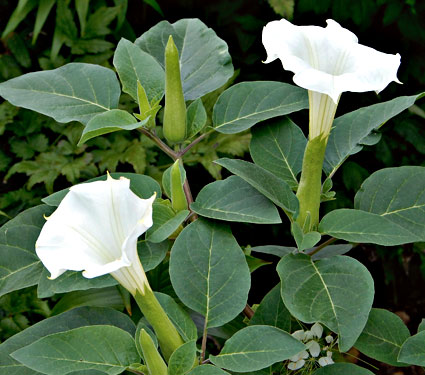 A flowering Datura plant.