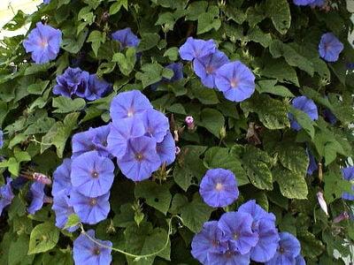 Flowering blue Morning glory.