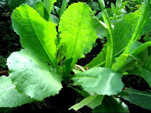 legal_high_opium_lettuce_lactuca_virosa