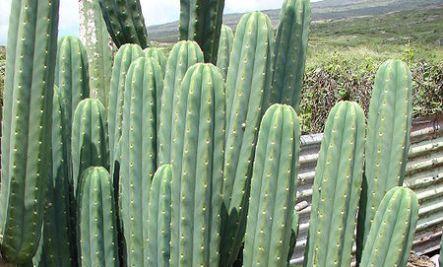 Fully grown San pedro cacti.