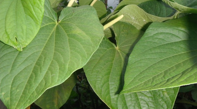 On the picture you can see fully grown leaves of a Hawaiian kava plant. The roots of the kava plant are used to make an intoxicating, sedative beverage.