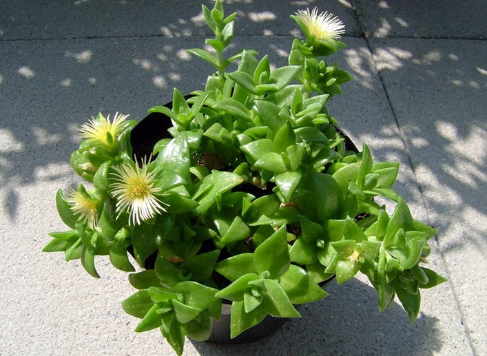 A flowering Sceletium tortuosum plant (colloquially called kanna). Kanna is a powerful herbal legal high mood enhancer, stimulant).