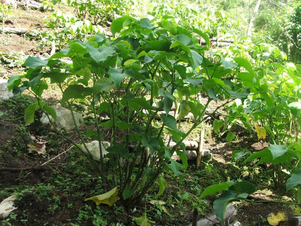 A picture of Kava, Piper methysticum as it grows in the wild. The roots of the kava plant are used to create a psychoactive beverage.