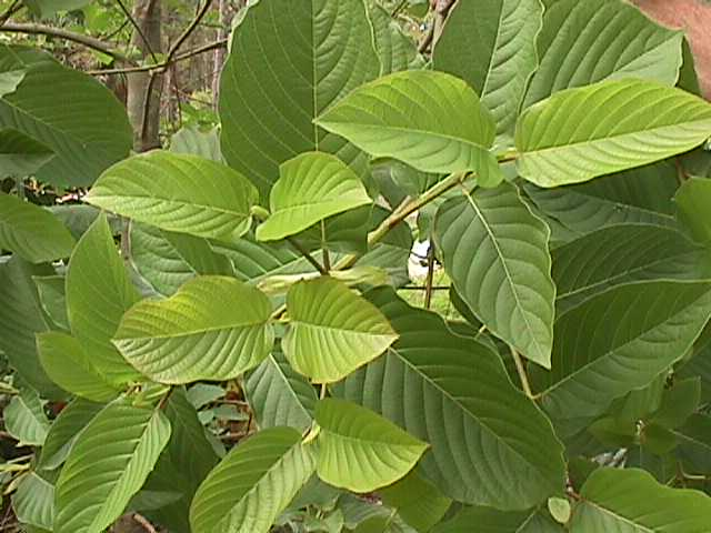 Buy Kratom In Virginia