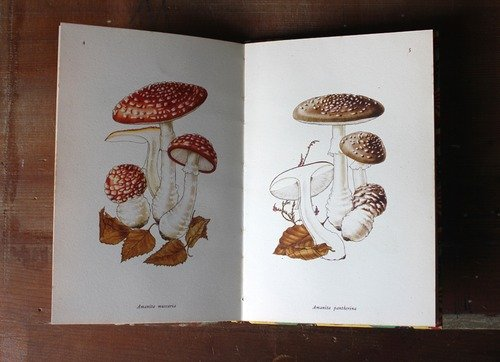 A picture showing illustrations of Amanita muscaria (on the left) and Amanita pantherina (on the right).
