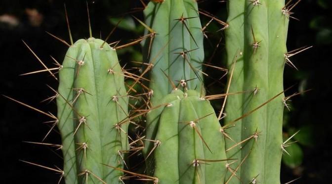 Simon's Trichocereus Bridgesii (Achuma) Guide