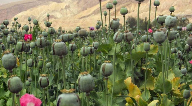 Simons opium poppy seeds and pods guide simons legal highs a picture of an opium poppy field probably in afghanistan poppy seeds are mightylinksfo