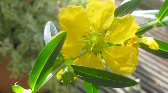 Flower of sinicuichi, or heimia salicifolia