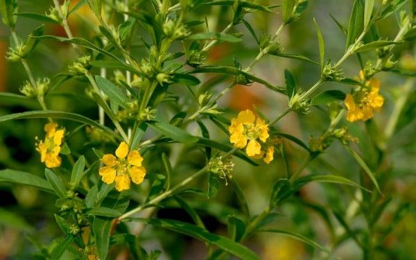 Flowering Heimia salicifolia