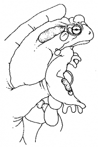 An illustration to milking a Bufo alvarius (Sonoran desert toad)