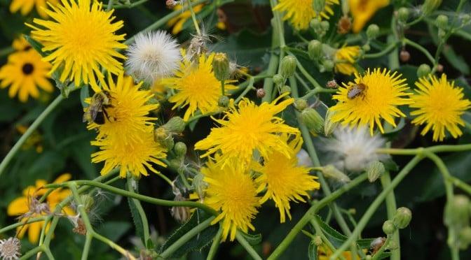 Simon's Wild Lettuce (Lactuca Virosa) Guide