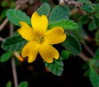 A picture of damiana - an anxiolytic smokable herb and ingredient of calming tea mixes. It is a great natural sedative, marijuana synergists and a mild marijuana alternative!