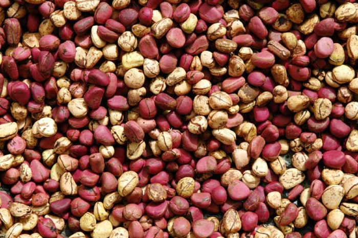 A picture of kola nuts - kola nut refers to the species Cola nitida and Cola acuminata in this article.