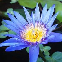 A picture of blue lotus - a recognised aphrodisiac and one of the better natural remedies for anxiety.