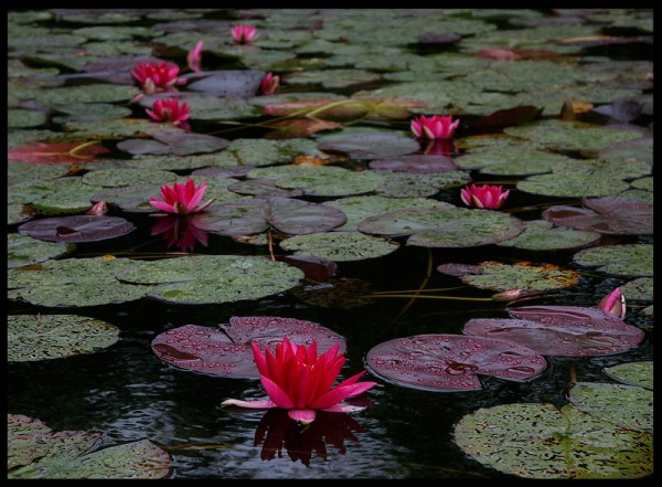 The red variant of white lotus, Nymphaea alba f. rosea