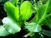 Wild lettuce - one of the best natural sleep aids. A calming tea can also be prepared from the plant.
