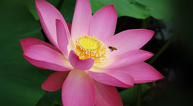 Simon's Nelumbo Nucifera (Sacred Lotus) Guide