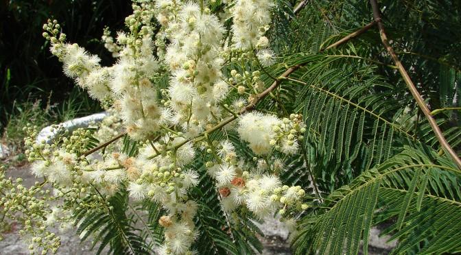 Simon's Anadenanthera Colubrina (Vilca) Guide