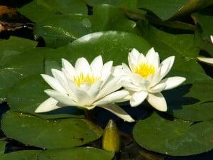 Simon's Nymphaea Alba (White Lotus) Guide