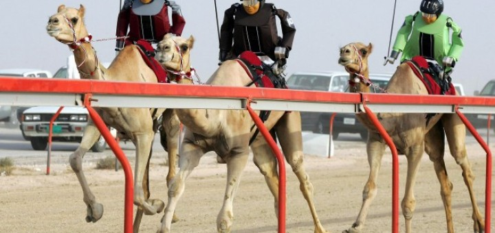 A picture of Robot jockey's riding camels on a camel race Qatar. An illustration to my guide about gambling in Qatar.