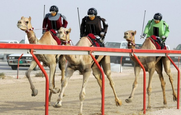 A picture of Robot jockeys riding camels in a camel race in Qatar. This is used as the header image of my guide about gambling in Qatar. You can read more about gambling, lottery and poker in Qatar below the picture.